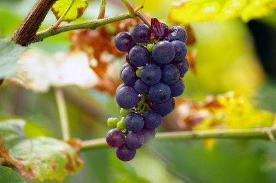 Flu Shot Effectiveness Grapes