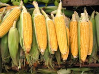 Genetically Modified Sweet Corn
