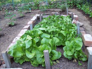 Growing Lettuce Ground