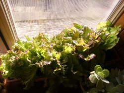 Growing Lettuce Window Box