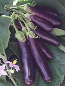 Nightshade Vegetables Eggplants