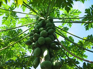 Papaya Fruit Tree