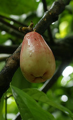Rose Apple Syzygium Malaccense