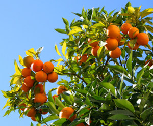 Vitamin C Deficiency Oranges