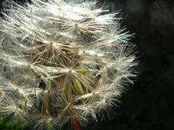 Allergies Cure Dandelions