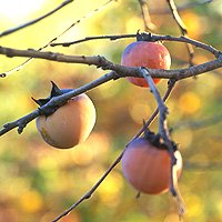 American Persimmon Fruit Close