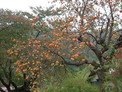 American Persimmon Fully Laden Fall