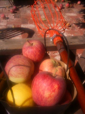 Wild Food Foraging Apples