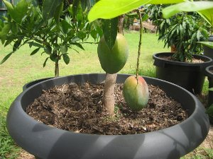 Growing Organic Food Mangoes