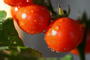 Growing Organic Food Tomatoes Wet
