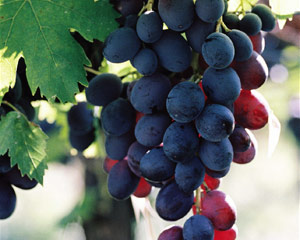 Importance Of Water Grapes