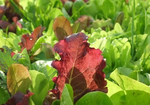 Raw Greens Red Leaf Lettuce